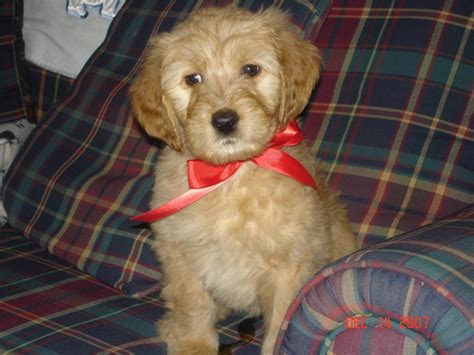 mini goldendoodles dayton ohio my standard goldendoodle