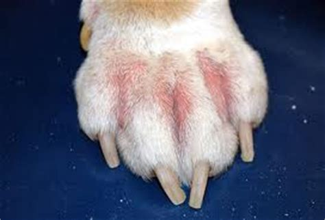 pododermatitis in dogs littleton west animal hospital colorado allergies in dogs