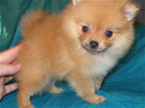 pomeranian puppies for sale missouri pomeranian puppies in missouri