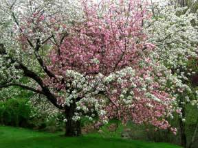 pink and white flowers on the same tree pixdaus