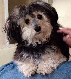mini hava doodle havapoo puppy for sale in ohio hava doodle