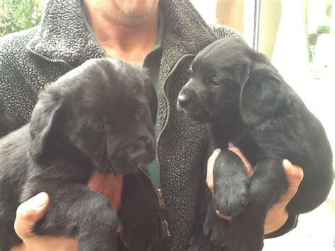 labernese puppies for sale labernese puppies labrador bernese mountain leek staffordshire pets4homes
