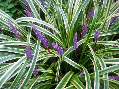 piante da esterno in vaso perenni piante da esterno daveli
