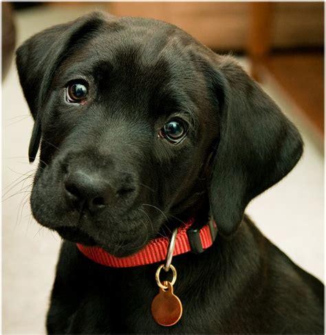 lab puppies ma posibles problemas de salud en el labrador retriever perrosamigos