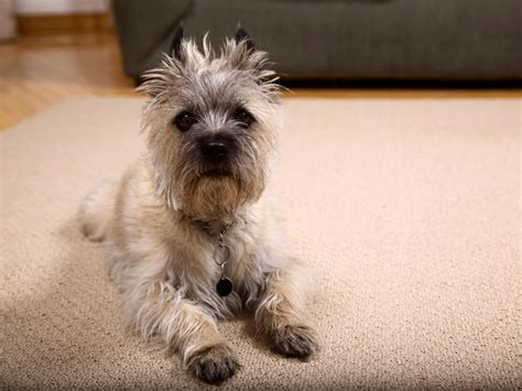 puppy on carpet 12 tips for pet friendly decorating diy