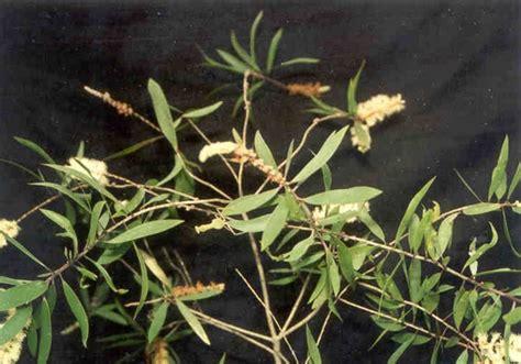 Minyak Kayu Putih Yang Paling Kecil membuat obat nyamuk alami sederhana bibitbunga