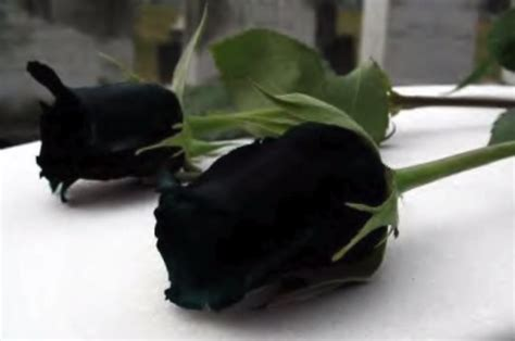 rosa nera fiore l affascinante rosa nera di halfeti in turchia
