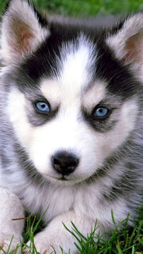 wallpaper for iphone puppies cute husky puppies with blue eyes iphone wallpaper hd