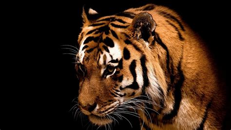 imagenes para pc resolucion 1366x768 tigres 1366x768 fondos de pantalla y wallpapers