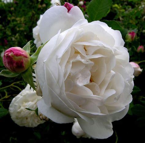 super fragrant roses rosefarm com international
