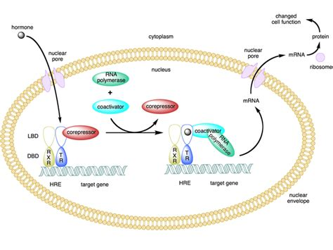 protein x is an unknown membrane protein hormones boundless anatomy and physiology