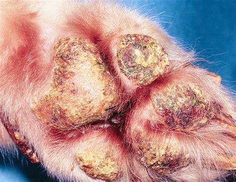 pemphigus foliaceus in dogs pemphigus vulgaris in dogs related keywords pemphigus vulgaris in dogs
