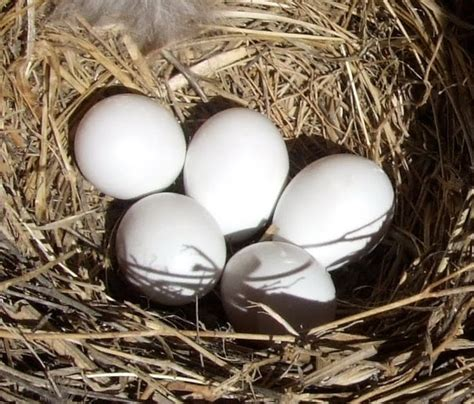 bluebird eggs color springfield plateau egg shell white