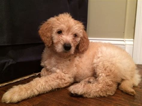 goldendoodle puppy nyc goldendoodle puppy for sale in new york new york