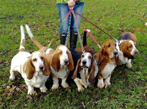 when can i walk my puppy walking your 6 tips to establish pack leadership
