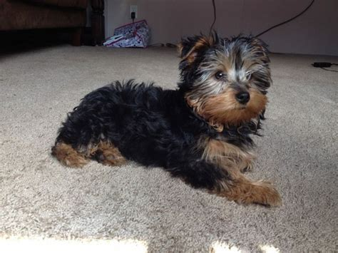4 month yorkie weight 3 month yorkie breeds picture