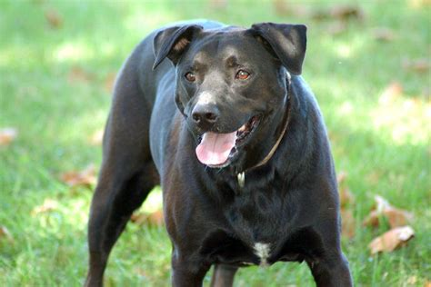 lab mix dogs jade the polite lab mix who chose to wait for family