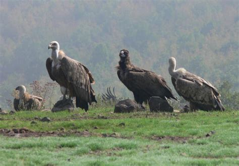 threats to wolves bears and vultures bulgaria whitley