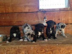 hanging tree puppies ranch cow dogs stock dogs for sale on border collies black cur