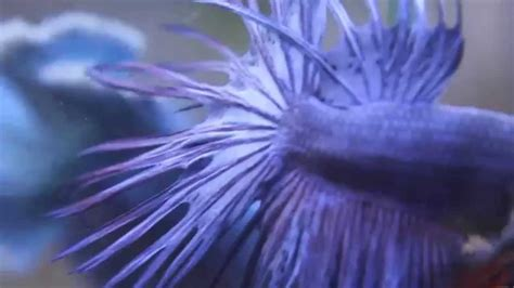 Crowntail Blue Stell blue crowntail images