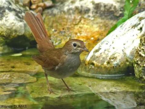 chant d oiseau le rossignol youtube