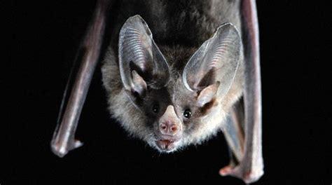 mammiferi volanti un pipistrello per amico la nazione firenze