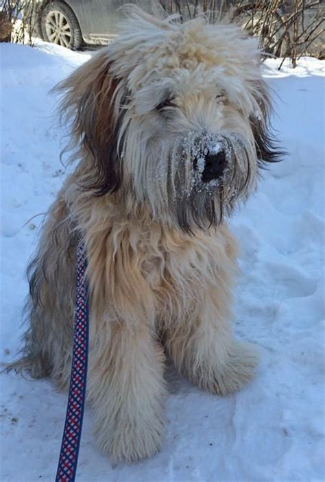 wheaten terrier bad haircuts 17 best images about soft coated wheaten terriers on