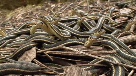 Garden Snake Canada Sided Garter Snakes Begin Their Annual Every May