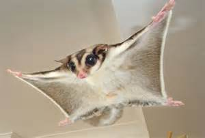 fascinating facts about sugar gliders metro news