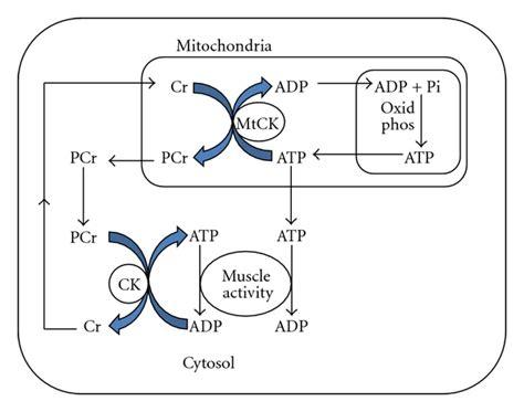 s creatine kinase creatine kinase and exercise related damage
