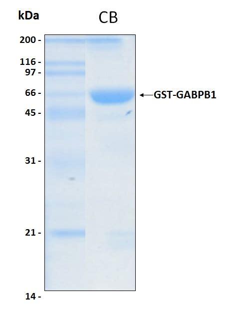 protein alternatives human gabpb1 recombinant protein protein alternatives