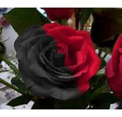 Beautiful Black And White Flowers Pictures Awesome Pink