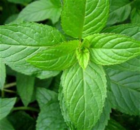 Minyak Peppermint khasiat daun dan minyak peppermint bagi kesehatan