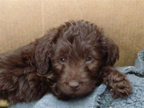 mini labradoodle puppies mini labradoodle puppies for sale in pa breeds picture