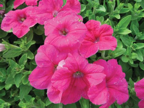 petunias summer annuals oupa se hoed