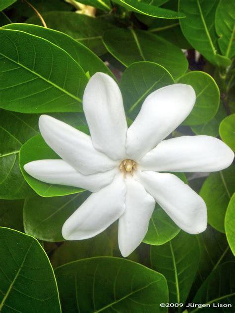 tiare french polynesia national flower tiare tahiti