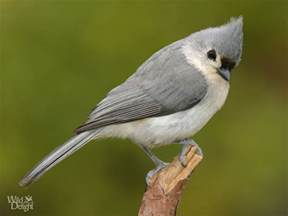 tufted titmouse wild delightwild delight