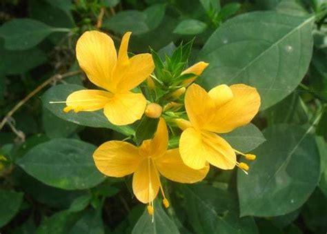 cara membuat obat bius dari bunga kecubung jenis tanaman obat lengkap dari a z beserta gambar dan