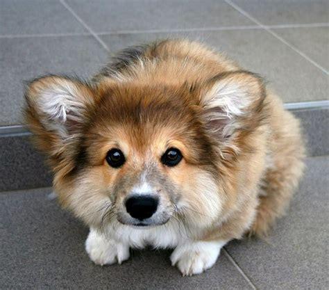 fluffy corgi puppies fluffy corgi rocky ready to pounce