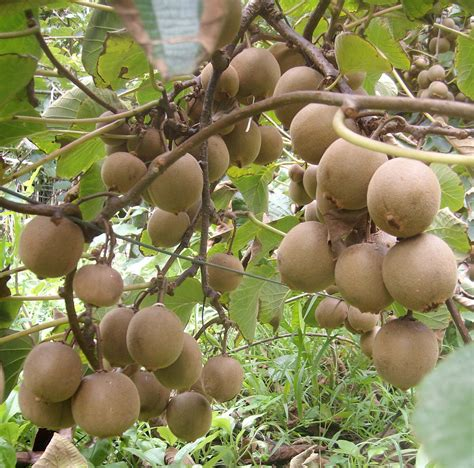 kiwi fruit trees 1000 images about tree on how to grow cherry