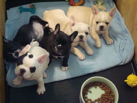 frenchie puppy for sale amazing bulldog puppies for sale bismarck nd asnclassifieds