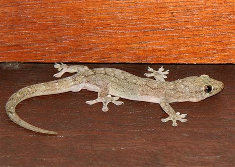 common house gecko image gallery house gecko