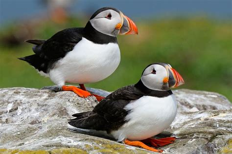 puffin bird pixdaus