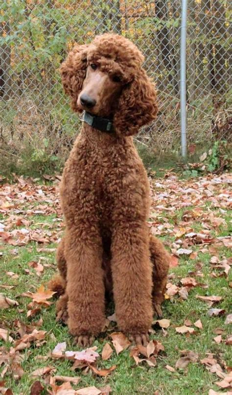 types of standard poodle cuts 1000 ideas about poodle cuts on pinterest poodles