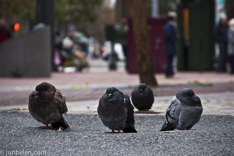 piloerection even pigeons do get cold junblog