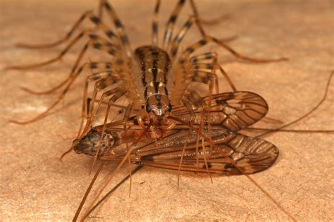 tiny centipede in house the science s the house centipede