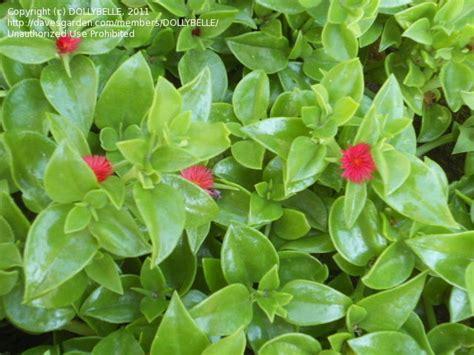 flowering house plant identification www imgkid com