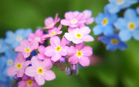 Pink and Blue Forget me Not Flowers widescreen wallpaper