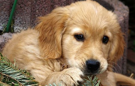 how does the average golden retriever live golden retriever faq totally goldens