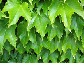 file plant leaves green jpg wikimedia commons